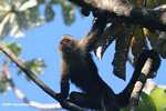 White-faced Capuchin [costa_rica_5191]