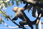 White-faced Capuchin [costa_rica_5192]