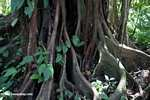 Buttress roots [costa_rica_5306]