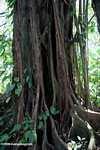Strangler fig roots [costa_rica_5308]