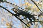Black Iguana (Ctenosaura similis) in a tree [costa_rica_5316]
