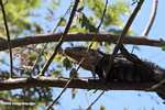 Black Iguana (Ctenosaura similis) in a tree [costa_rica_5321]