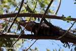 Black Iguana (Ctenosaura similis) in a tree [costa_rica_5322]