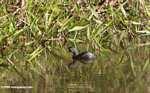 Small gray grebe or duck [costa_rica_5331]