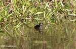 Small gray grebe or duck [costa_rica_5332]