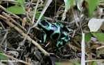 Mint poison dart frog (Dendrobates auratus)
