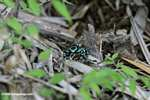 Chocolate Mint poison dart frog (Dendrobates auratus)
