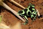 Green-and-black poison dart frog (Dendrobates auratus) [Caribbean variant] [costa_rica_5389]