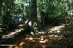 Leaf-cutter ant nest [costa_rica_5429]