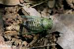 Green cicada [costa_rica_5453]