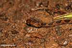 Common chunk headed snake - Imantodes cenchoa [costa_rica_5510]
