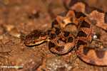 Common chunk headed snake - Imantodes cenchoa [costa_rica_5512]