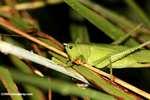 Green katydid [costa_rica_5521]