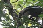 Arboreal Lesser Anteater (Tamandua tetradactyla)