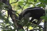 Lesser Anteater (Tamandua tetradactyla) [costa_rica_5954]