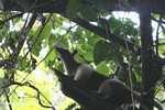 Arboreal Lesser Anteater (Tamandua tetradactyla) [costa_rica_6004]