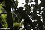 Red-backed Squirrel Monkey, Saimiri oerstedii