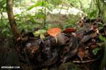 Red cup fungi [costa_rica_la_selva_0001]