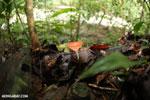 Red cup fungi [costa_rica_la_selva_0004]