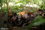 Red cup fungi [costa_rica_la_selva_0006]
