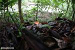 Red cup fungi [costa_rica_la_selva_0008]