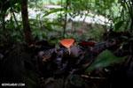 Red cup fungi [costa_rica_la_selva_0009]