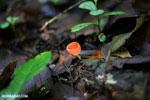 Red cup fungi [costa_rica_la_selva_0025]