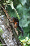 Squirrel [costa_rica_la_selva_0042]