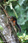 Squirrel [costa_rica_la_selva_0043]