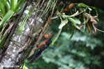 Squirrel [costa_rica_la_selva_0044]