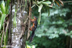 Squirrel [costa_rica_la_selva_0045]