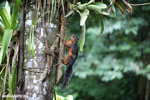 Squirrel [costa_rica_la_selva_0046]