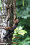 Squirrel [costa_rica_la_selva_0050]