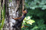 Squirrel [costa_rica_la_selva_0051]