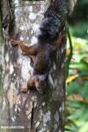 Squirrel [costa_rica_la_selva_0052]