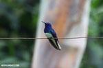 Hummingbird [costa_rica_la_selva_0061]