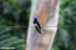 Hummingbird [costa_rica_la_selva_0063]