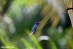 Hummingbird [costa_rica_la_selva_0077]