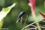 Hummingbird [costa_rica_la_selva_0078]