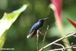 Hummingbird [costa_rica_la_selva_0081]
