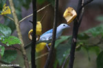 Blue-grey Tanager (Thraupis episcopus) [costa_rica_la_selva_0085]