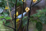 Blue-grey Tanager (Thraupis episcopus) [costa_rica_la_selva_0087]