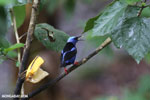 Red-legged Honeycreeper (Cyanerpes cyaneus) [male]