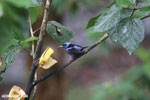 Red-legged Honeycreeper (Cyanerpes cyaneus) [male] [costa_rica_la_selva_0090]