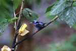 Red-legged Honeycreeper (Cyanerpes cyaneus) [male] [costa_rica_la_selva_0091]