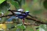 Red-legged Honeycreeper (Cyanerpes cyaneus) [male] [costa_rica_la_selva_0093]