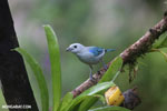 Blue-grey Tanager (Thraupis episcopus) [costa_rica_la_selva_0096]