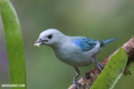 Blue-grey Tanager (Thraupis episcopus) [costa_rica_la_selva_0101]