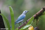 Blue-grey Tanager (Thraupis episcopus) [costa_rica_la_selva_0102]