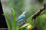 Blue-grey Tanager (Thraupis episcopus) [costa_rica_la_selva_0104]